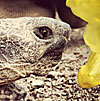 Juan Wayne, Cat Mountain Lodge adopted desert tortoise, Tucson Arizona